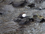 White-throated Dipper (Cinclus cinclus)